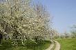 Kirschblüte im Schwarzwald