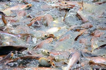 Catfish Family Pangasiidae