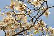 White Magnolias