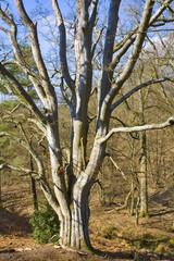 france,île de france,78 : hêtre en forêt