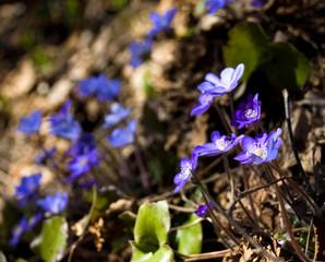Spring flowers - hepatica