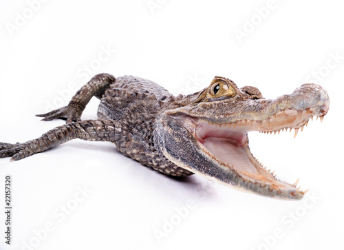 Fotobehang Krokodil close-up of alligator on the white background