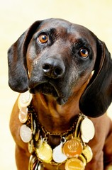 Bloodhound with medals 2