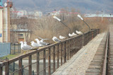 Seagulls on a bridge handrail poster