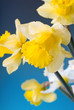 yellow and white narcissus on blue background