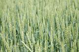 Unripe barley poster