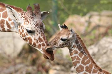 Giraffennachwuchs Carlo