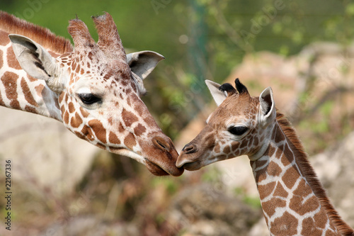 Keuken foto achterwand Giraffe Giraffennachwuchs Carlo