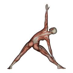 Yoga - Triangle Pose. Female Muscles