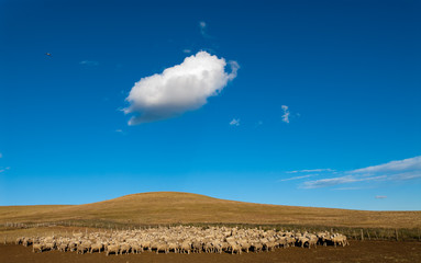 A heard of sheep in Patagonia.