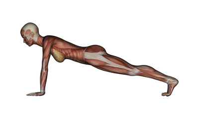 Yoga - Plank Pose. Female Muscles