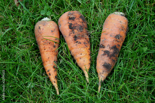 три моркови лежант на зеленой траве