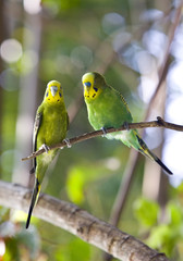 Budgerigars  on branch