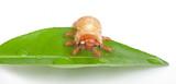Chafer larva on green leaf poster