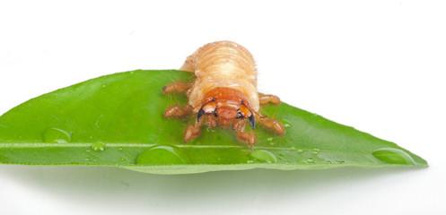 Chafer larva on green leaf
