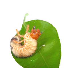 Chafer larva on green leaf