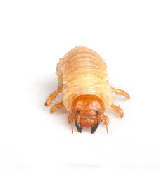 Chafer larva