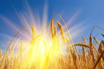 ear of wheat in a rays of sun