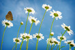 White daisies on blue sky background.