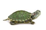 Fototapete Schildkröte - Schildkröte - Reptilien / Amphibien