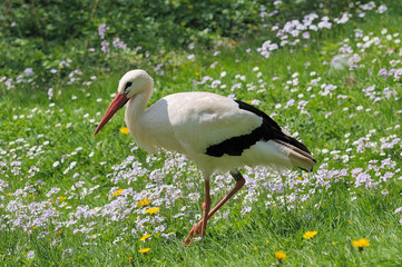 Storch auf Frühlingswiese