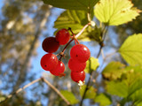 Guelder-rose berries