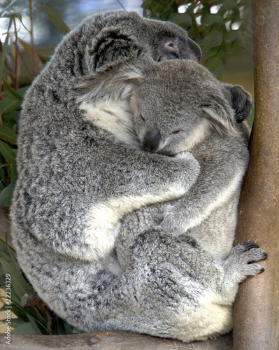 female adult koala bear holding baby , australia