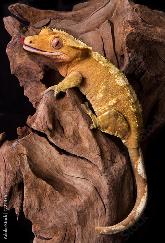 Crested gecko on petrified wood