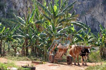 Bananenplantage in Vinales