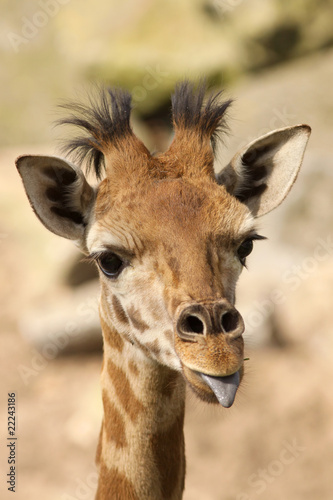 Young giraffe sticking out its tongue