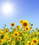 Fototapeta Sunflowers