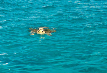 Caretta caretta swimming