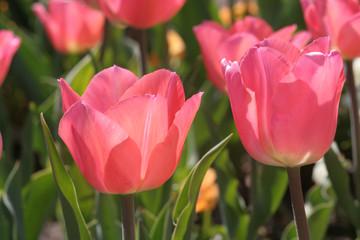 Tulpen - rosa