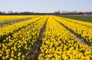 Dutch Bulb fields with daffodil flowers