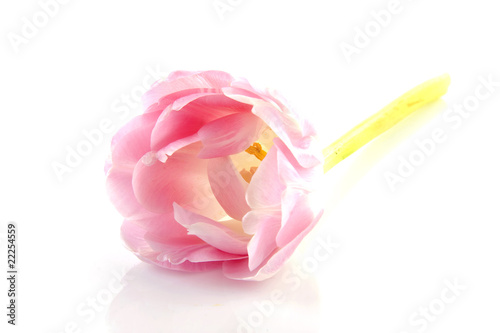 pink tulip in closeup over white background