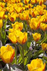 Bulb field with Dutch tulips