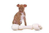 red nose pitbull puppy and his toy