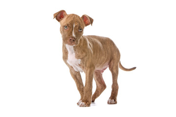 red nose pitbull puppy isolated on a white background