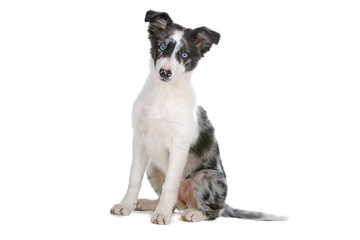 front view of a border collie dog looking at camera