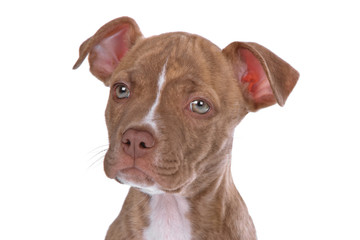 rednose pitbull puppy isolated on a white background