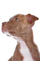 head of a red nose pitbull puppy isolated on a white background