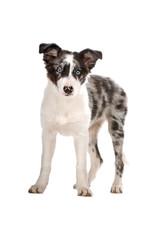 tri color border collie puppy