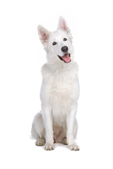 Swiss White Shepherd dog isolated on a white background