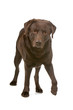 chocolate labrador retriever dog looking at camera