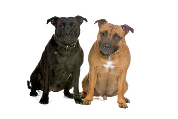 front view of two staffordshire bull terrier