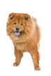 chow chow dog sticking out tongue