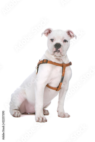 american buldog puppy isolated on white background