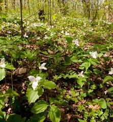 Trillium flowers bloom in April
