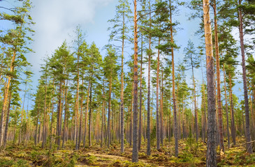 The pine forest.