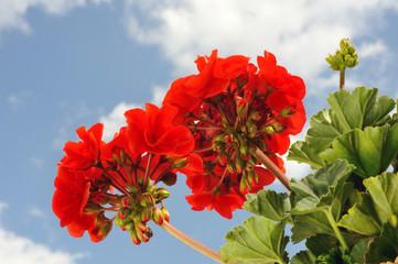 Red garden geranium - Pelargonium over blue sky